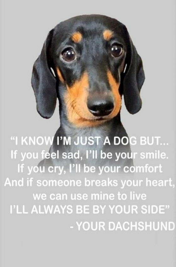 Dachshunds have a bigger heart than anything I've ever