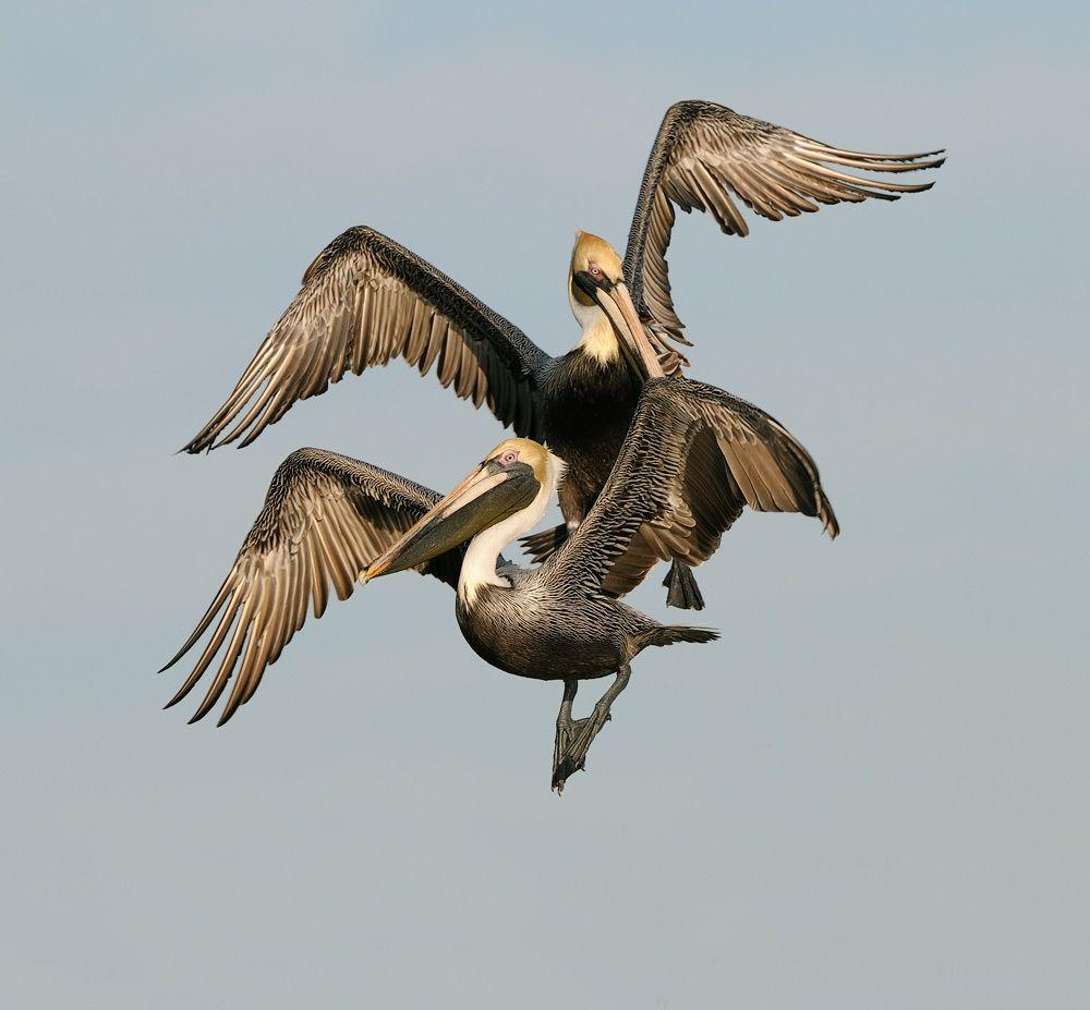 Boogie Woogie Dance by Harry  Eggens on 500px  (Pelicans)