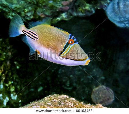 stock-photo-picasso-trigger-fish-at-the-northern-beach-of-eilat-city-israel-60103453.jpg (450×397)