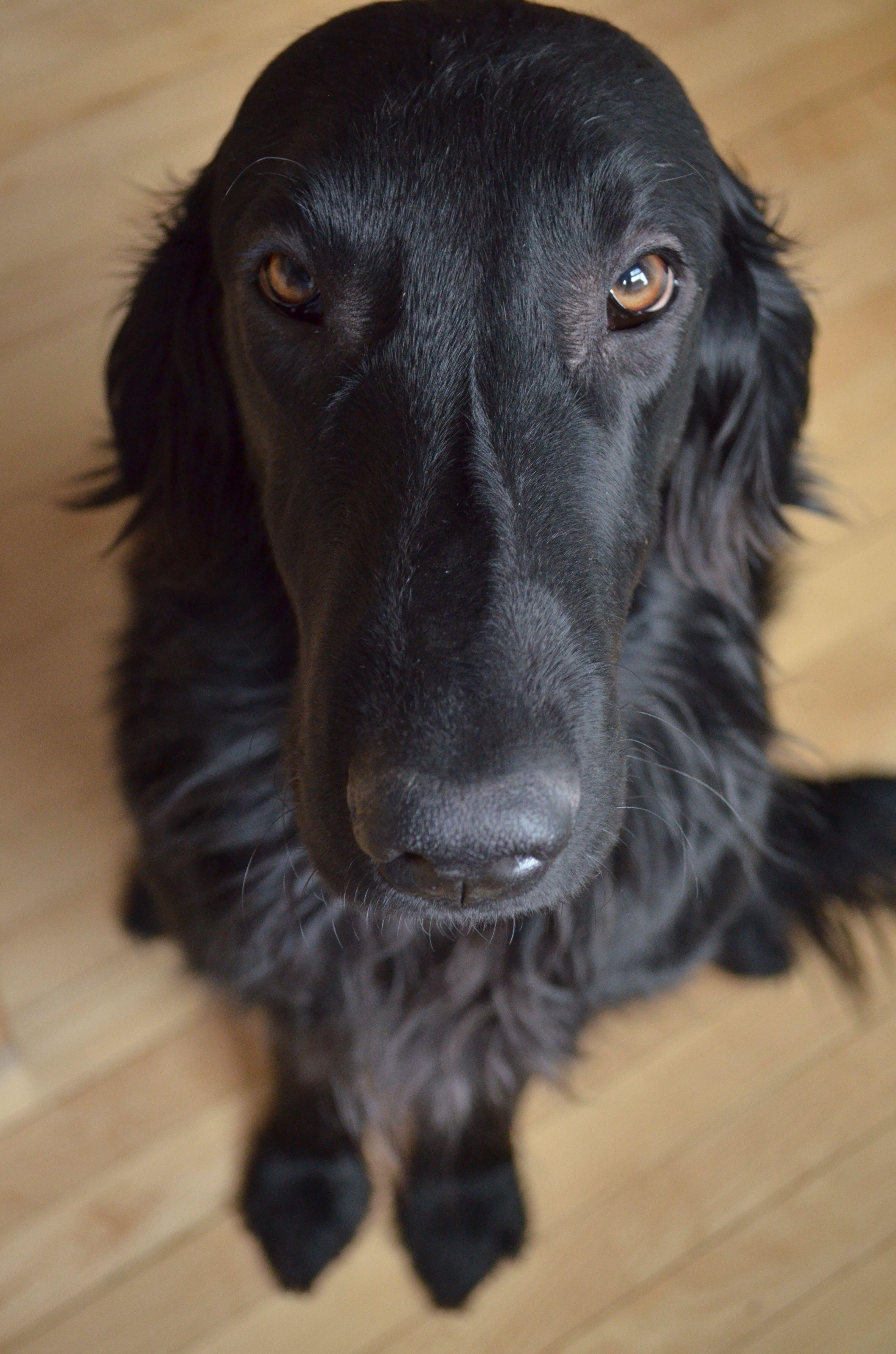My Flat Coated Retriever, Gus | Cães | Pinterest | Flat coated ...