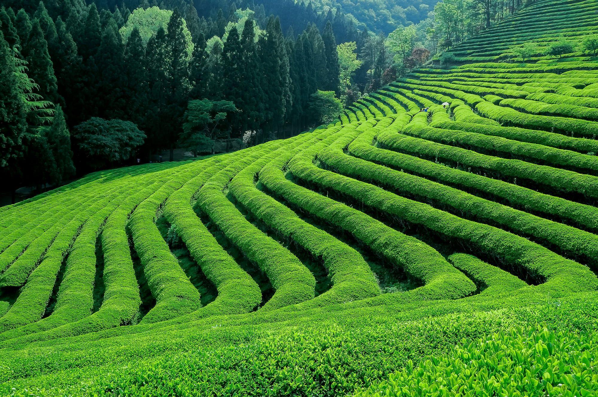 """Green Tea Farm"" by Jeongki Kim 500px 201802 • shot on"