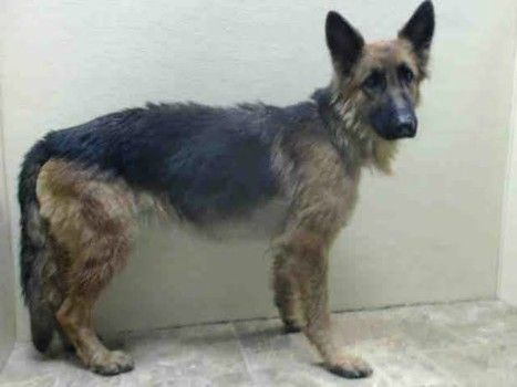 Stray Underweight German Shepherd Found In Nyc In Need Of