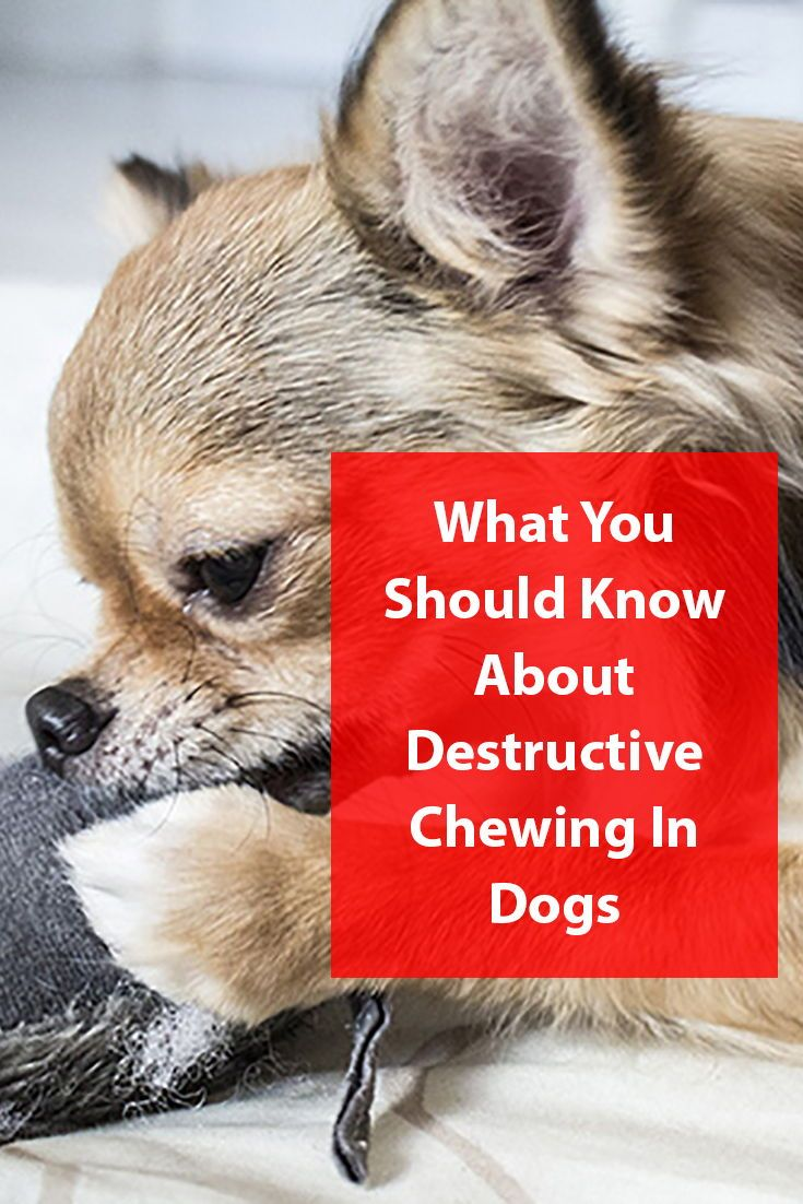 How to stop destructive chewing in dogs dogs dog