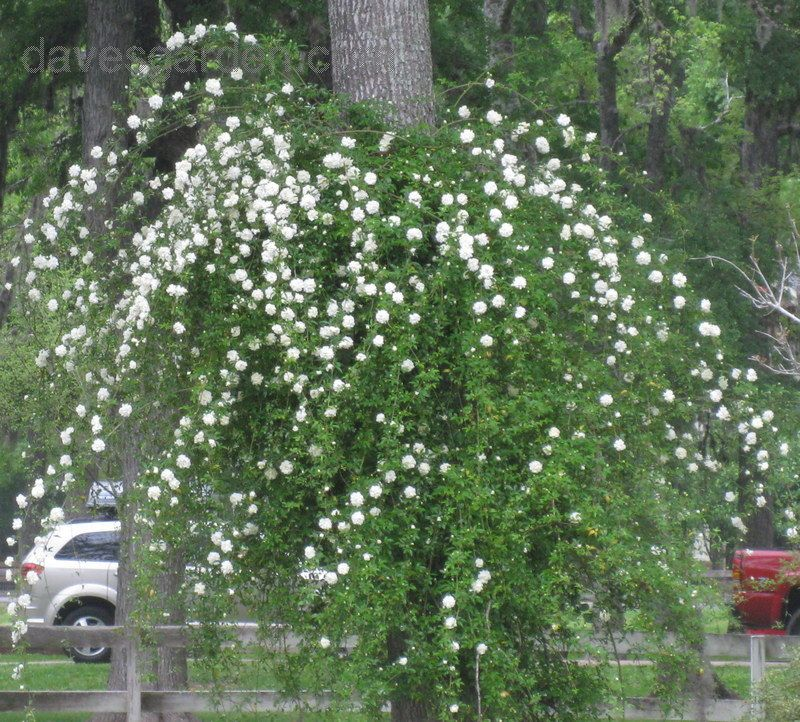 Full size picture of Lady Banks White Rose, Evergreen Multiflora ...