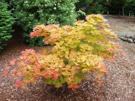 the acer shirasawanum or aureum is a beautiful maple that can also be grown as bonsai in. Black Bedroom Furniture Sets. Home Design Ideas