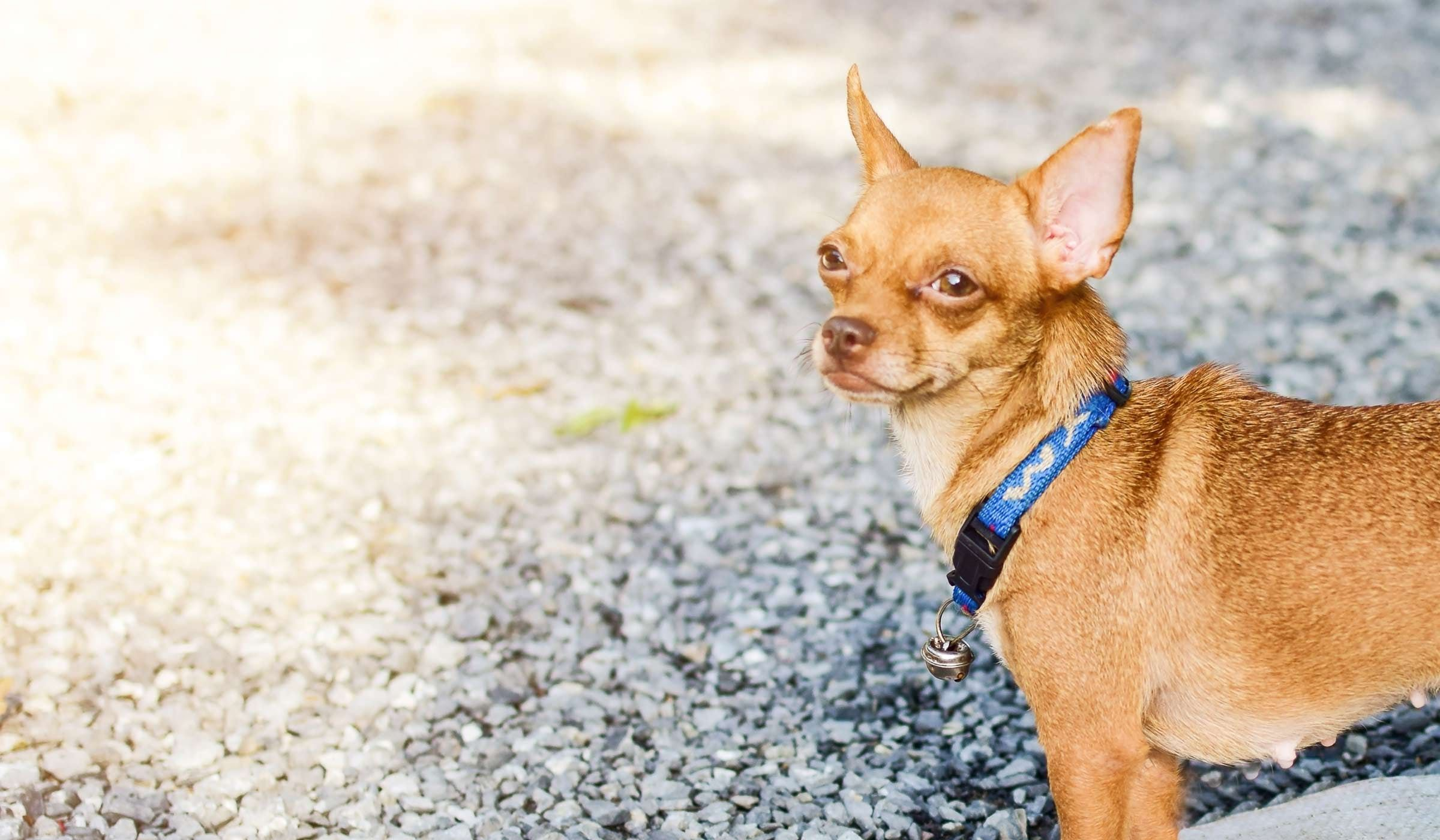 How To Potty Train A Chihuahua Puppy Pads Dog Beds For Small