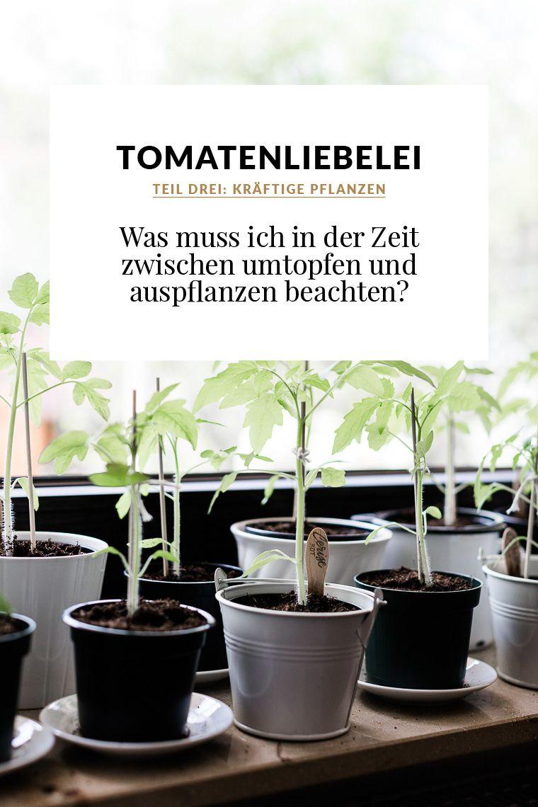 Tomatenliebelei – Von der Aussaat bis zur Ernte. Teil 3: So bekommt ihr kräftige Pflanzen #anbauvongemüse