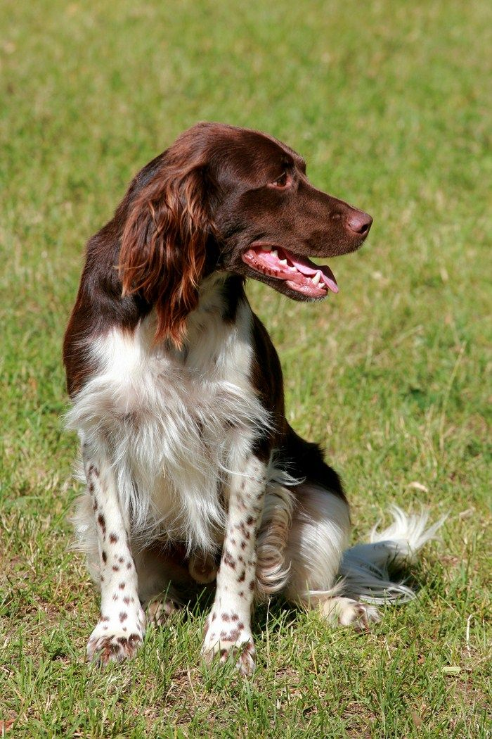 Small Munsterlander Dogs Training Your Dog Your Dog