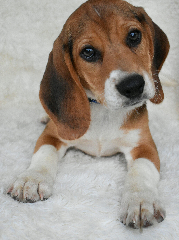 Puppies For Sale Beagle Puppy Lancaster Puppies Dog Breeder