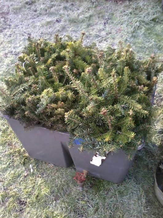 nordman fir christmas tree transplants - Nordman Fir Christmas Tree Transplants Christmas Trees & Stuff
