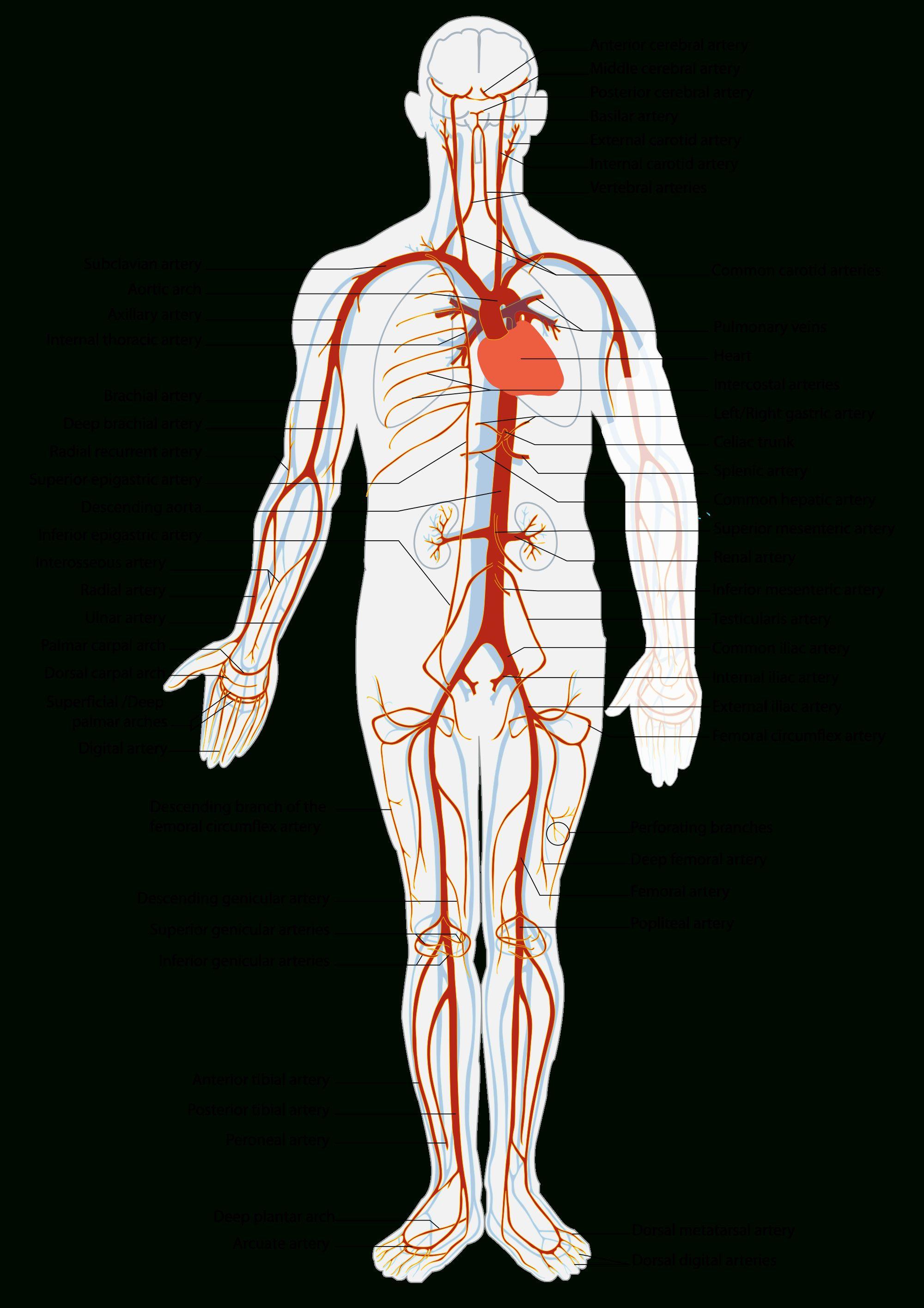 All Arteries In The Human Body Artery Simple English Wikipedia