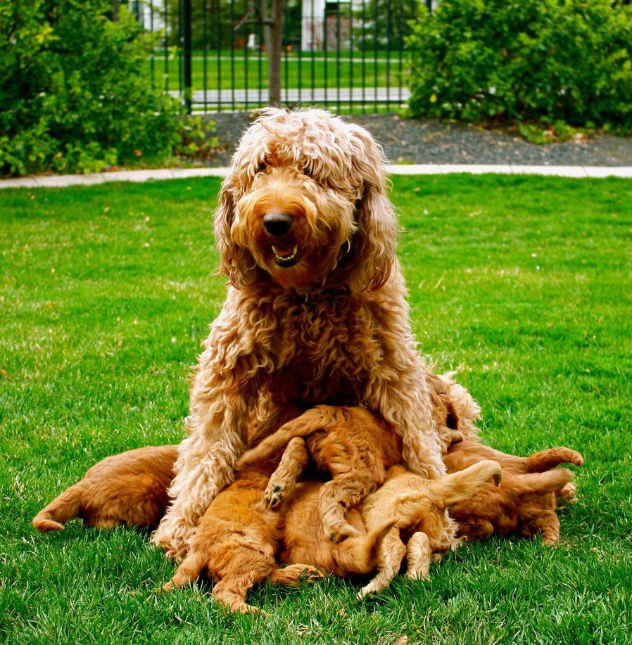 Red Goldendoodles, Red Goldendoodle Puppies, Idaho