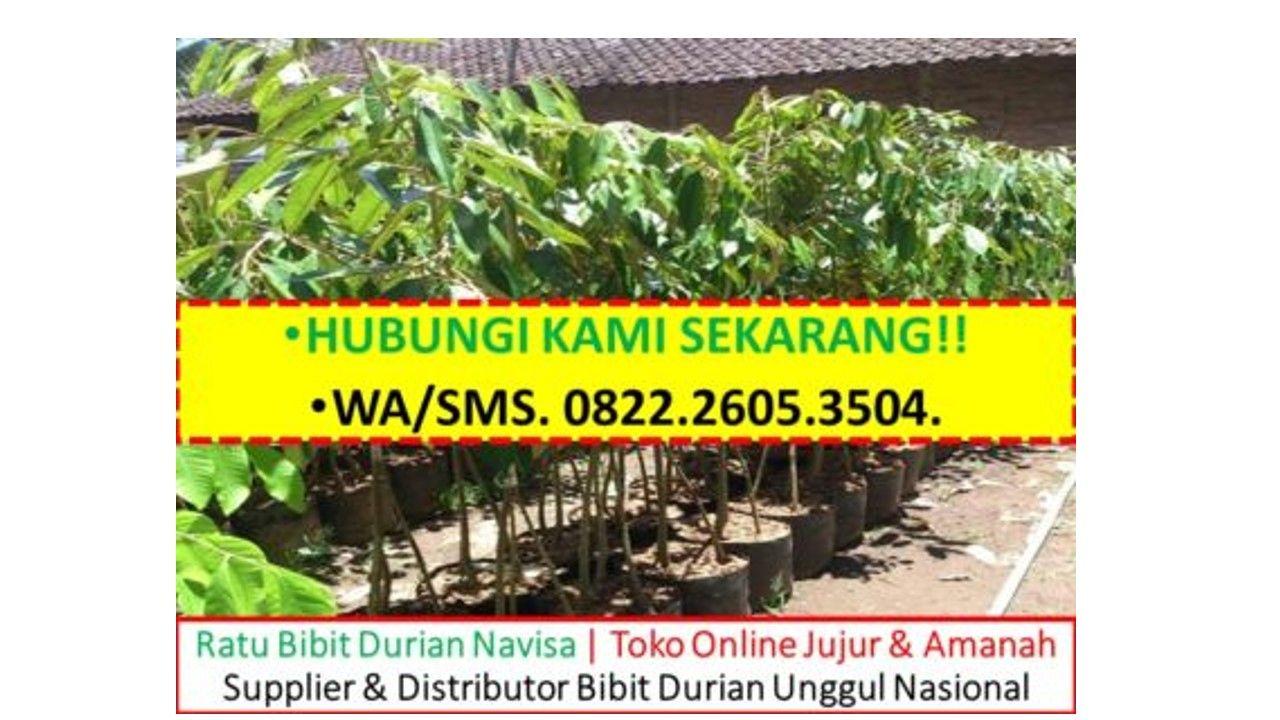 PROMO!!!, WA +62 82226053504, Jual Bibit Durian Bawor Di