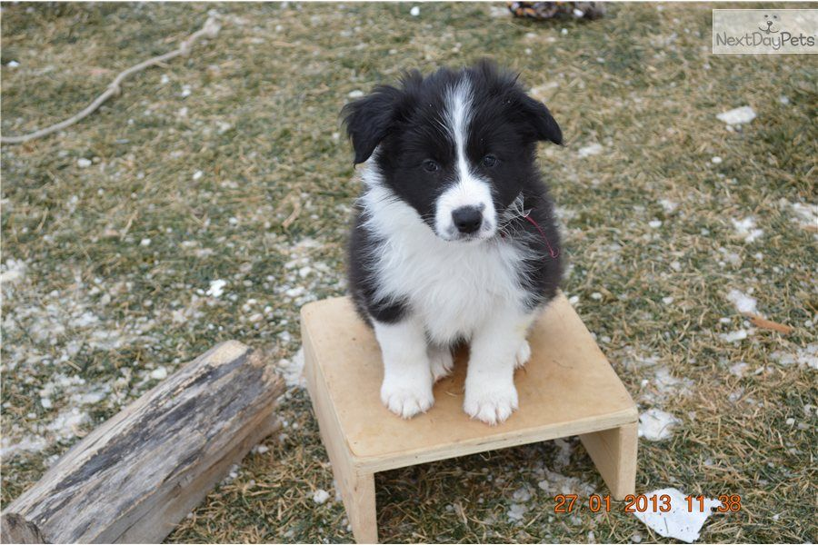 I am a cute Border Collie puppy, looking for a home on NextDayPets.com!  They call me Ziggy or Marooney.... I was born 12/6/12 and all my brothers and sisters have found their Forever Homes... I have championships on my parents sides and will likely be a bit smaller than my mom.   I'm very smart for such a little girl and a bit of a spit-fire.  ;)