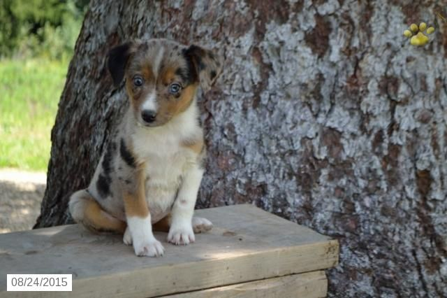 Australian Shepherd Mix Puppy For Sale In Ohio Australian
