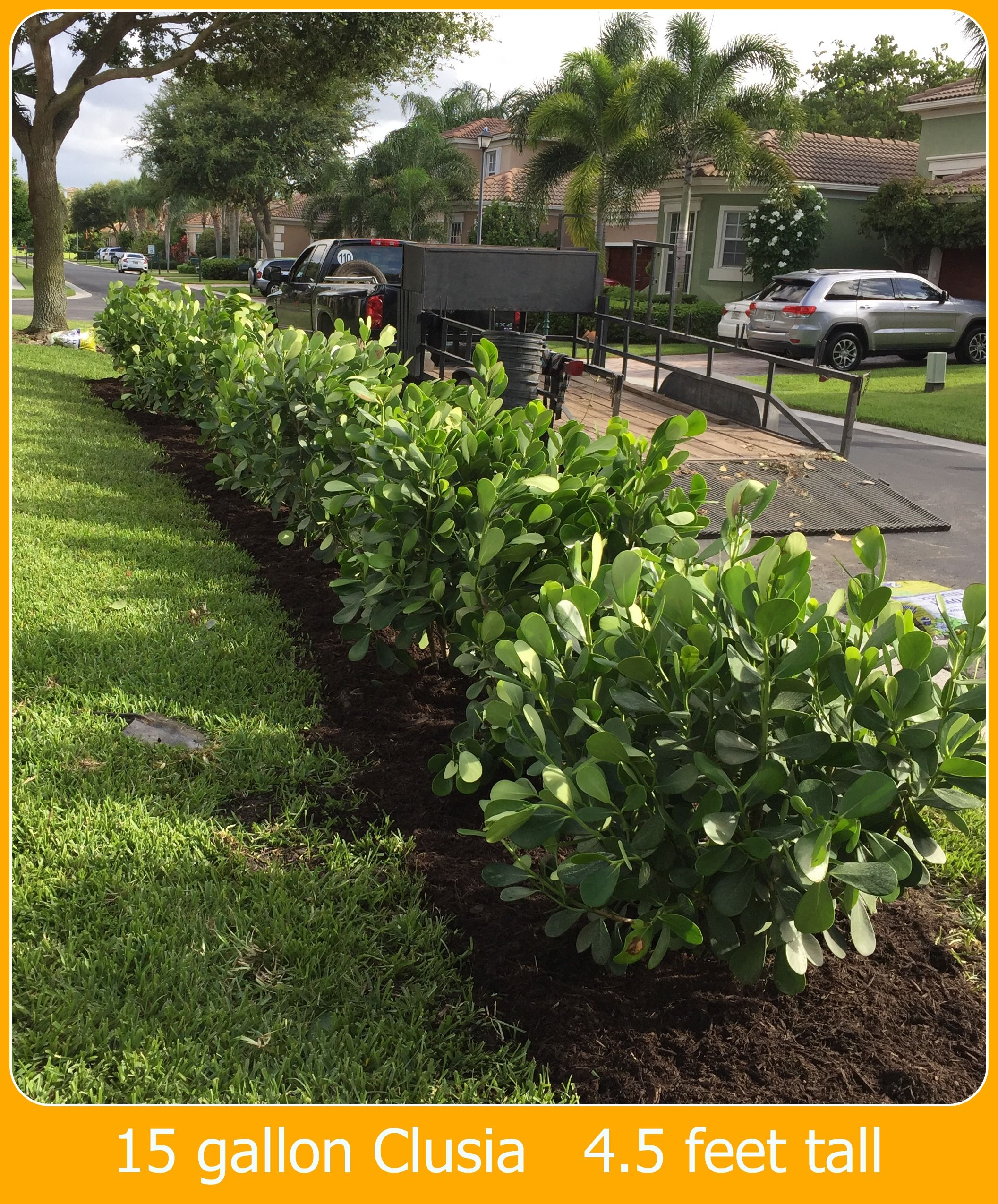 Clusia Rocea Pitch Le Hedge Plants Miami Nursery Palm Trees
