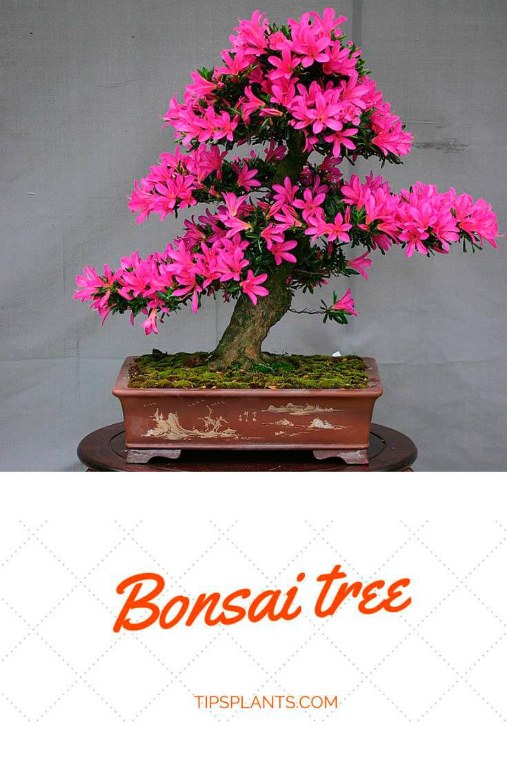 Japanese Art Of Growing A Miniature Tree Symbolism And Meaning Bonsai Tree Care Bonsai Tree Miniature Trees