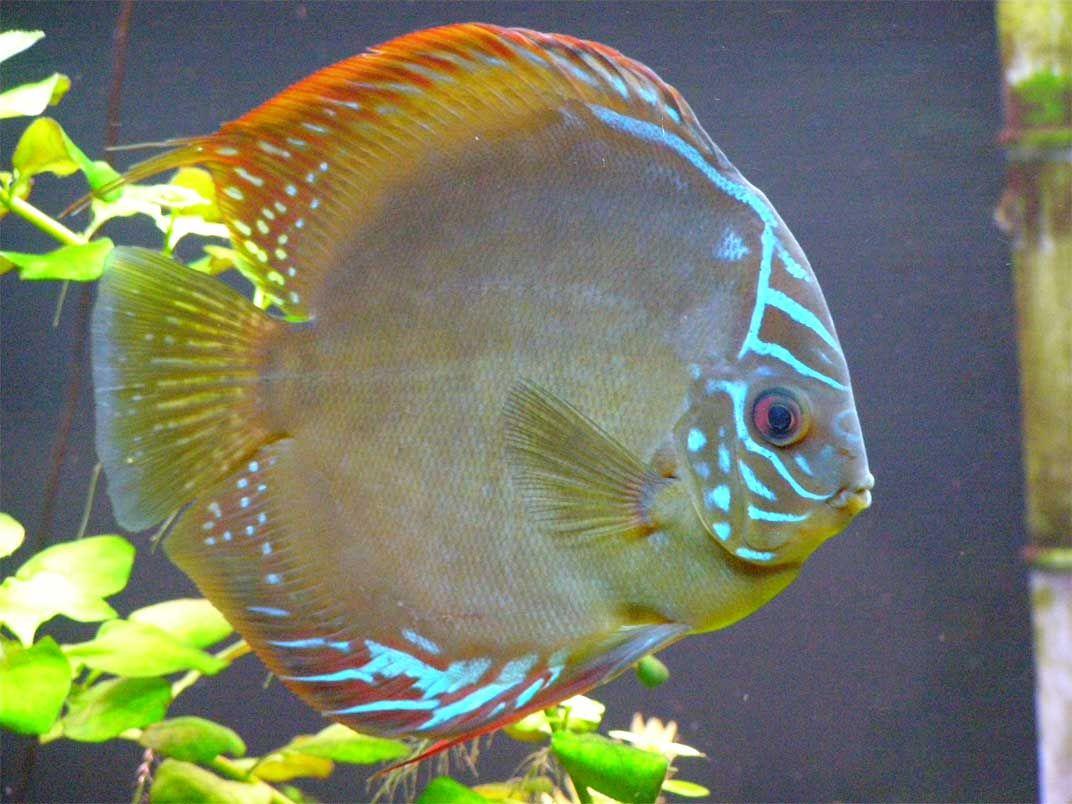 Freshwater aquarium fish gobiidae - Fish