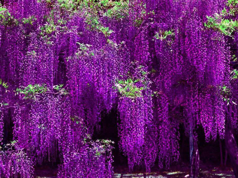 Violet wisteria clusters