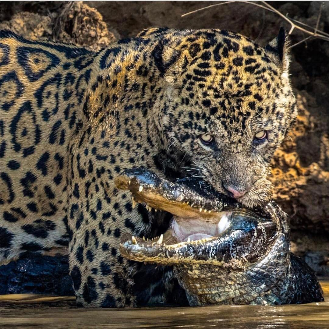 Pin by Jacob Villanueva on ᛗ Big cats, Animals, Animal