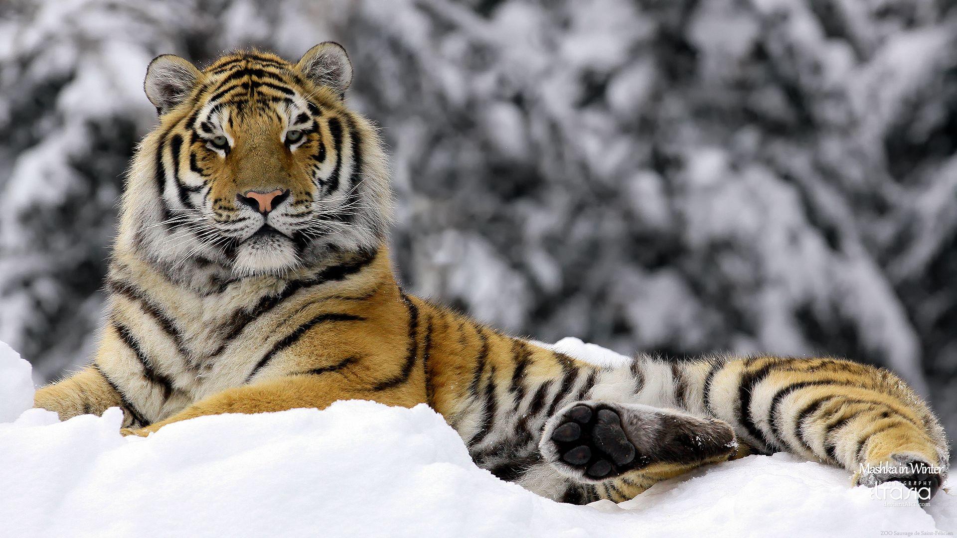 Cats Big Cats Siberian Tiger Tiger Wallpaper Tiger Images