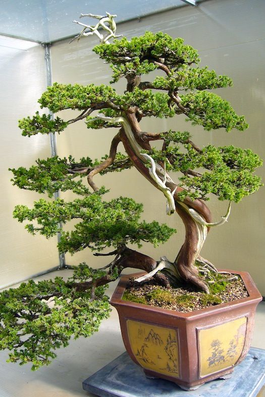Chinese Juniper started in 1962.
