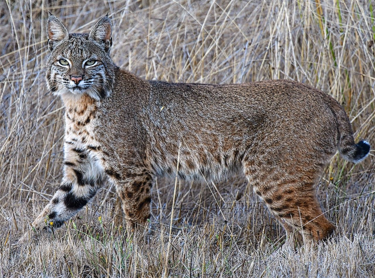 A handsome bobcat! Big cats art, Bobcat, Wild cats