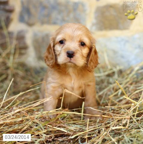 Cocker Spaniel Puppies For Sale Lancaster Puppies Cocker Spaniel Puppies Spaniel Puppies For Sale Lancaster Puppies