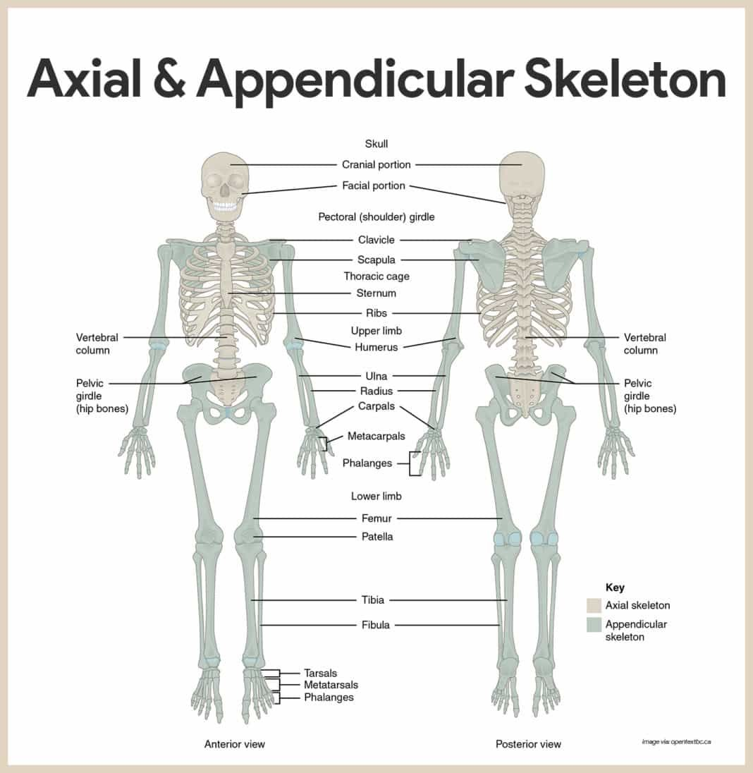 Skeletal System Anatomy And Physiology