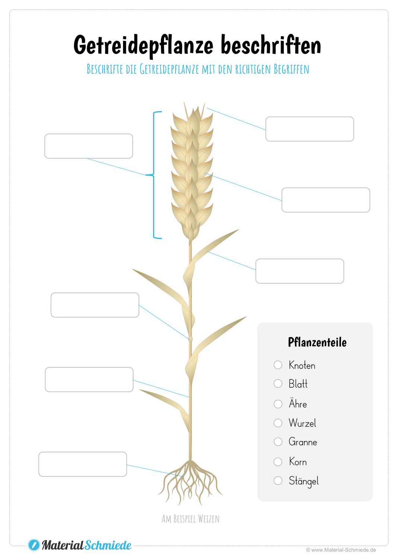Getreidepflanze Beschriften Unterrichtsmaterial In Den Fachern Biologie Naturwissenschaften Sachunterricht In 2020 Pflanzen Getreide Grundschule Sachkunde
