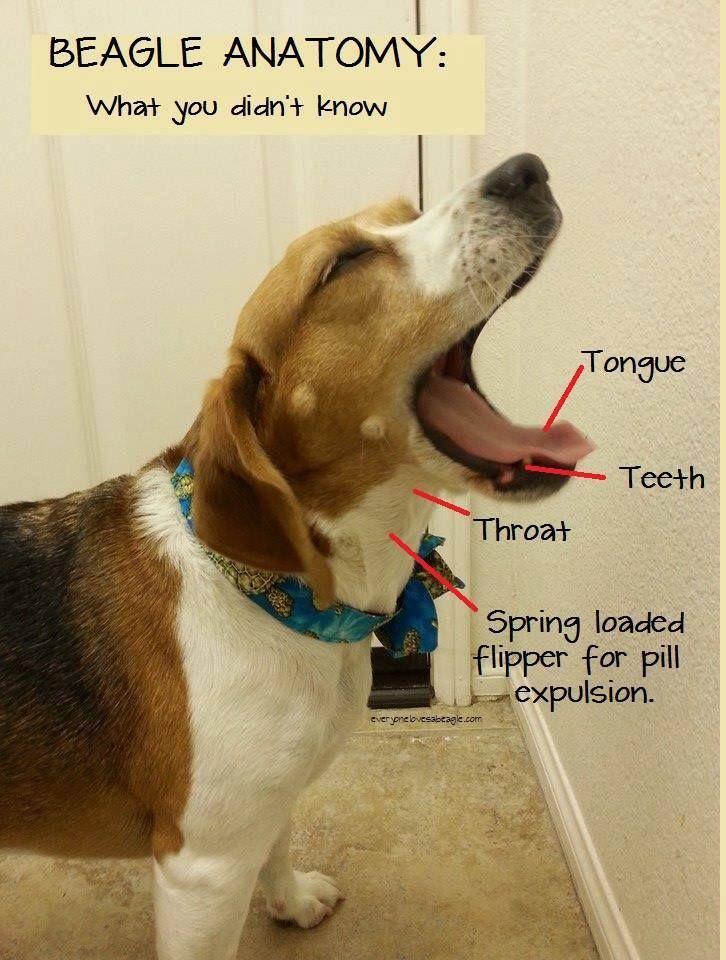 Beagle Anatomy Beagle Dog Beagle Puppy Beagle
