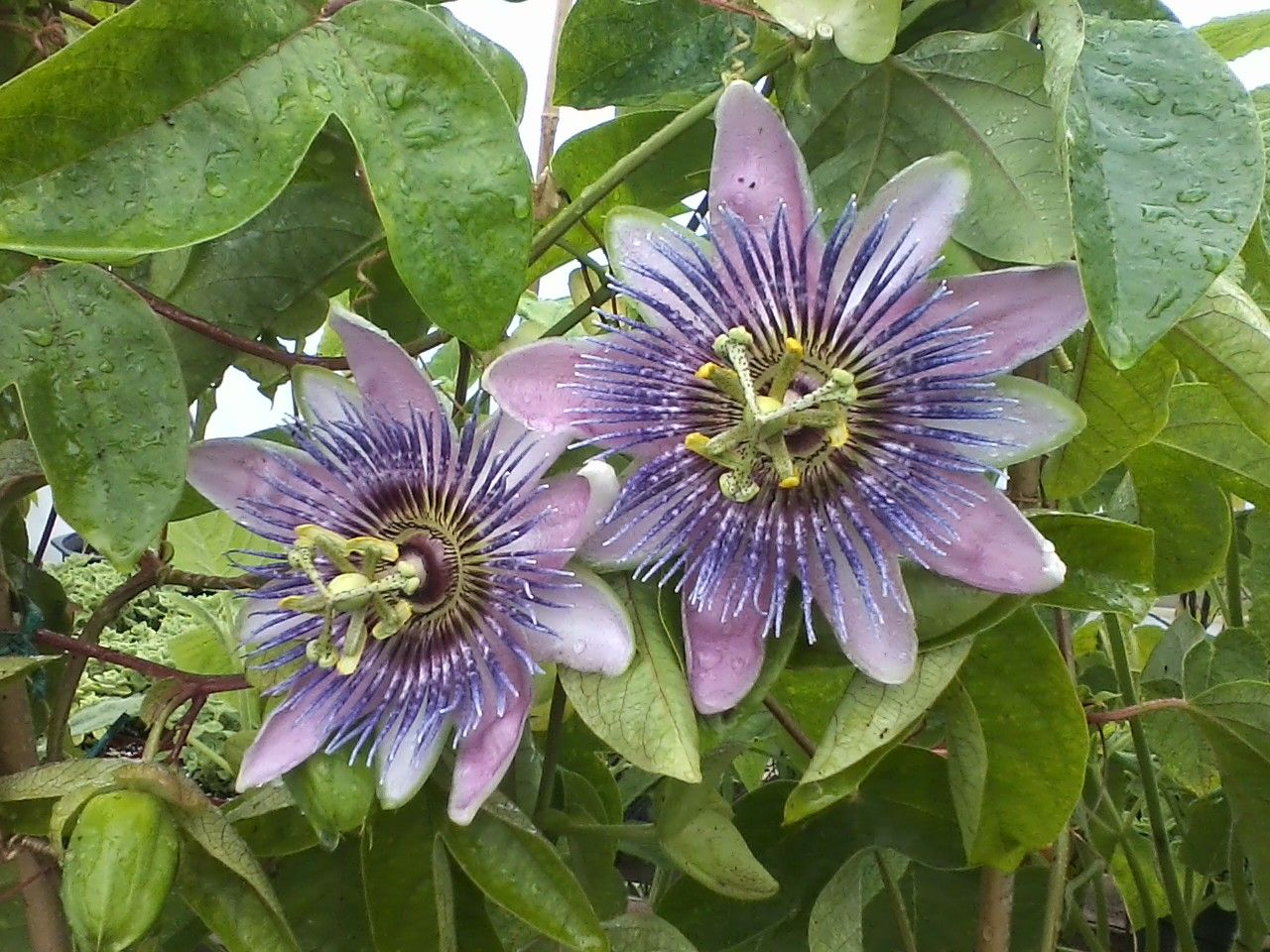 how to grow passion fruit in california