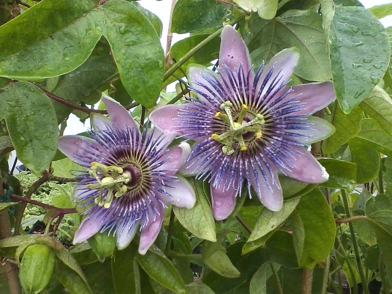 0730141206 Flowering Vines Passion Flower Evergreen Plants