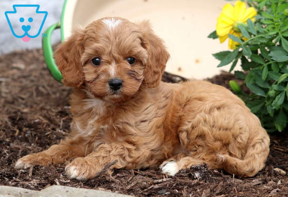 Lance Cavapoo Puppy For Sale Keystone Puppies Cavapoo Puppies For Sale Cavapoo Puppies Puppies For Sale