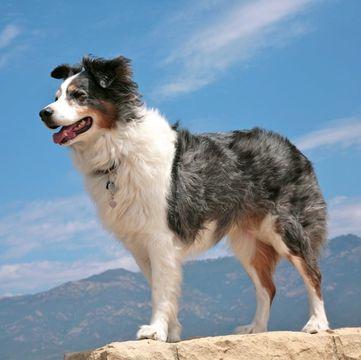 Australian Shepherd Puppies For Sale Adoptapet Com In 2020