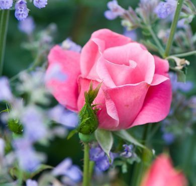 The Pink Knock Out® Rose | Star® Roses and Plants #knockoutrosen The Pink Knock Out® Rose | Star® Roses and Plants #knockoutrosen The Pink Knock Out® Rose | Star® Roses and Plants #knockoutrosen The Pink Knock Out® Rose | Star® Roses and Plants #knockoutrosen The Pink Knock Out® Rose | Star® Roses and Plants #knockoutrosen The Pink Knock Out® Rose | Star® Roses and Plants #knockoutrosen The Pink Knock Out® Rose | Star® Roses and Plants #knockoutrosen The Pink Knock Out® Rose | Sta #knockoutrosen