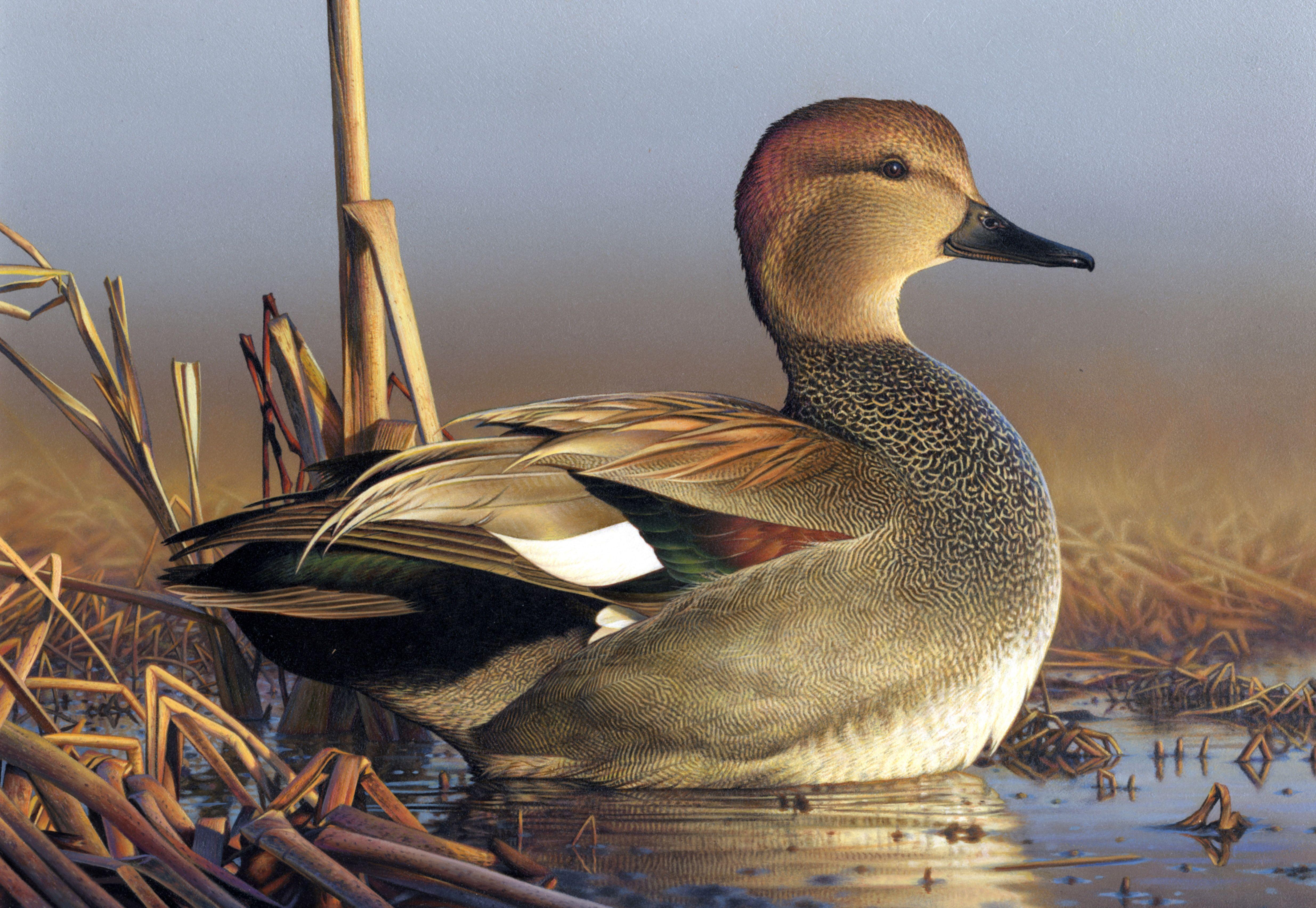 Duck 4940x3407 Pato ave, Fotos de patos, Pato silvestre