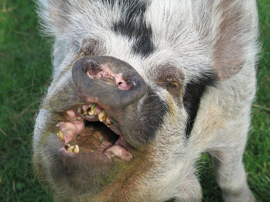 Pin on UGLY PIG PICS