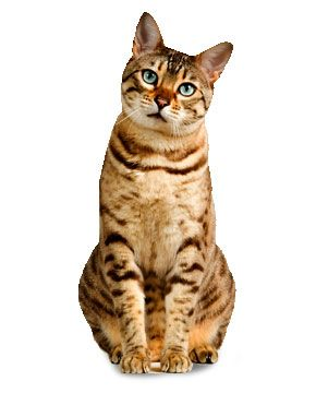 the spangled cat was bred in the 1980s to resemble wild