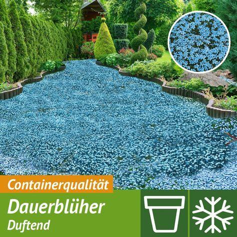 Bodendecker Blauer Stern online kaufen bei Ahrens+Sieberz | Pflanzen ...