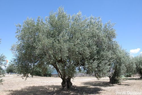 Oliviers olivier de provence peyruis alpes de haute - Arbre provencal ...
