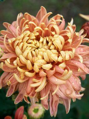 Homecoming Football Mum 3ft Flowers Perennials Chrysanthemum Autumn Garden