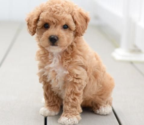 AKC Toy Poodle Puppies for Sale Iowa in 2020