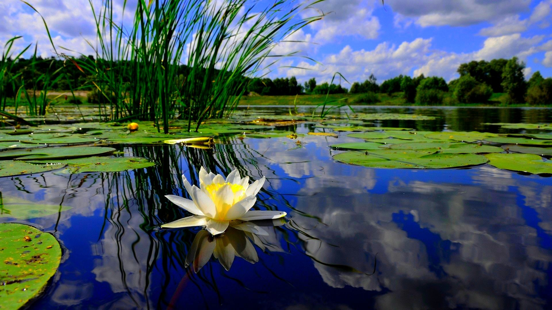 Hardy water lilies live pond plants flowers for Plants that live in a pond