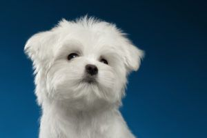 Maltese For Sale White Teacup And Other Ct Breeder Maltese