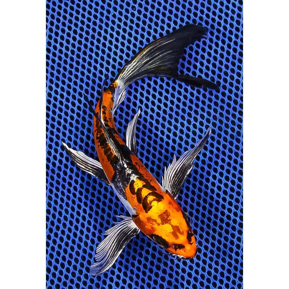 8 Doitsu Kujaku Butterfly Koi Koi Fish For Sale Butterfly Koi Koi Fish For Sale Koi Fish