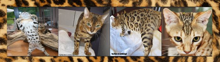 Bengal Cat Breed Standard From Tica Cca Afc Cat Breeds Bengal