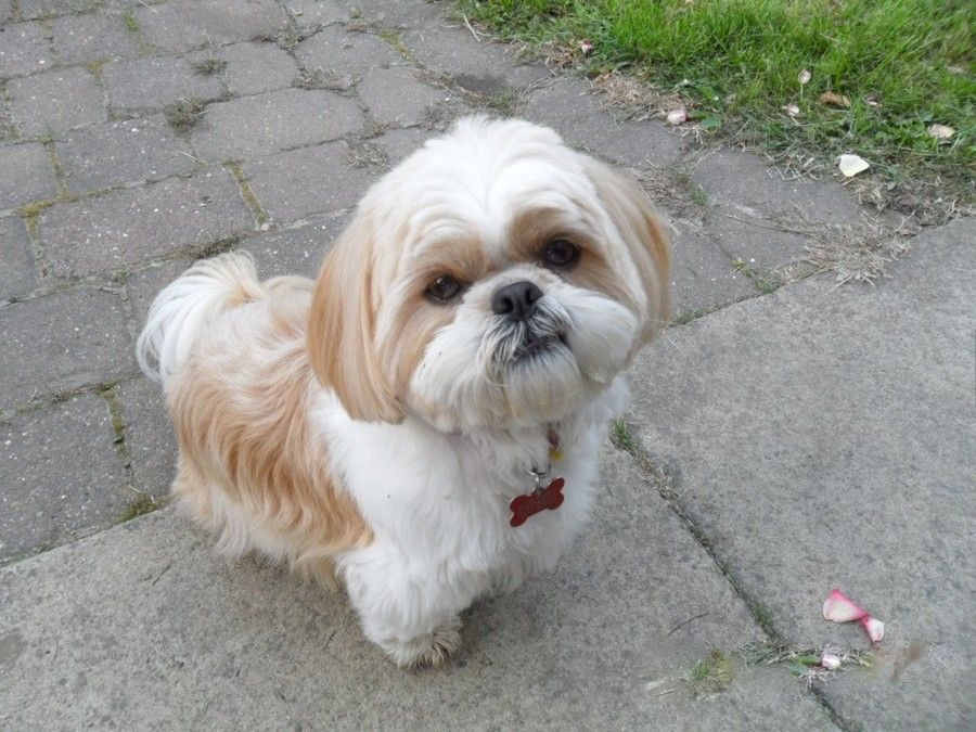 How Much Does a Shih Tzu Puppy Cost? Shih Tzu Daily