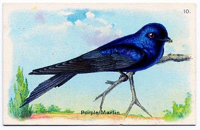 Vintage Graphic Gorgeous Bird Purple Martin Purple Martin