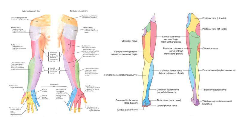 arm and leg dermatomes regions   medicine   Radiculopathy
